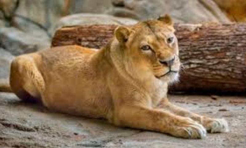 Απίστευτο: Έβγαλαν τα νύχια λέαινας με πένσα για να παίζουν μαζί της οι επισκέπτες!